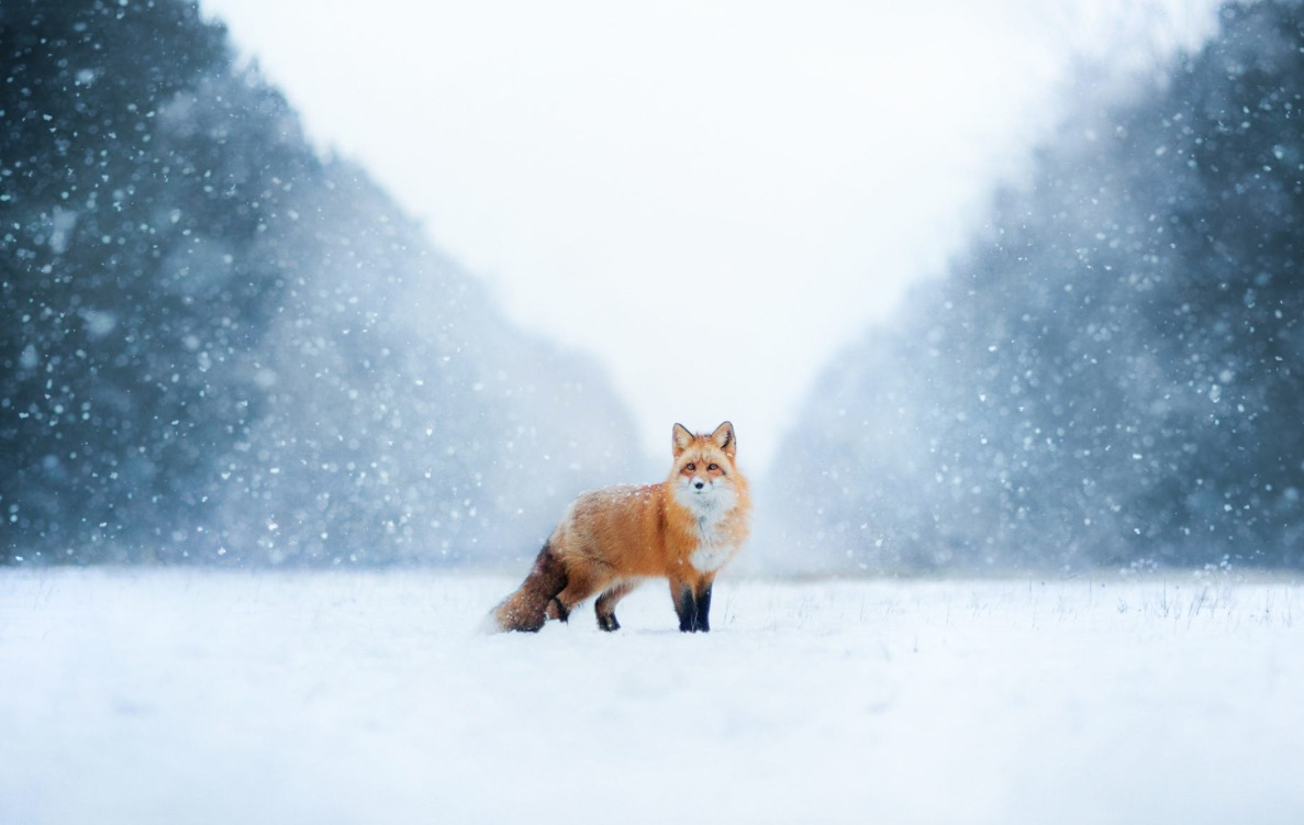 عکس+زیبا+از+روباه