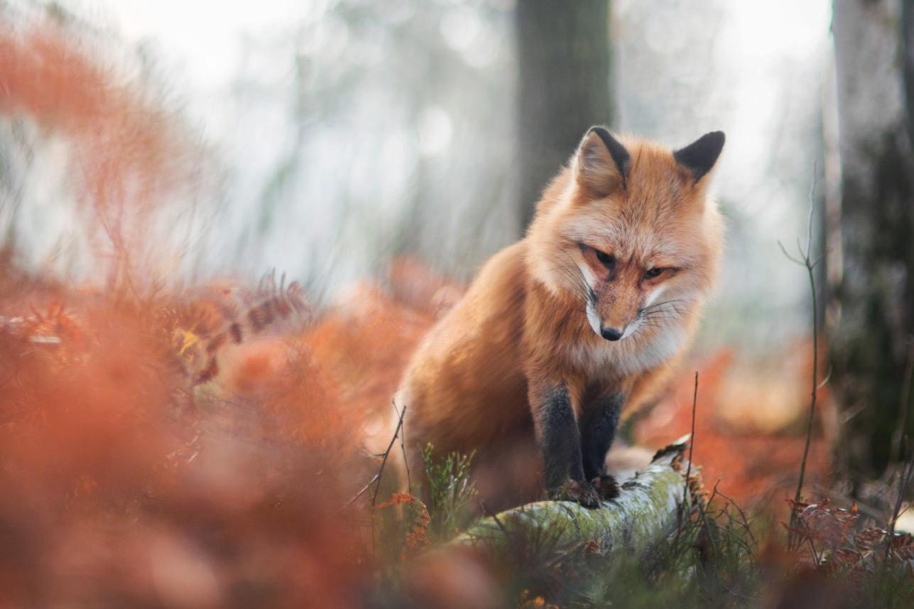 پرتره های زیبا و دیدنی از یک روباه قرمز
