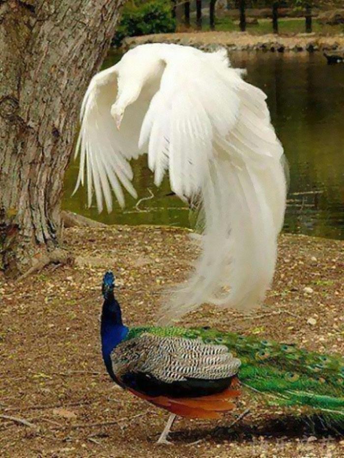 تجربه خروج روح از بدن طاووس !