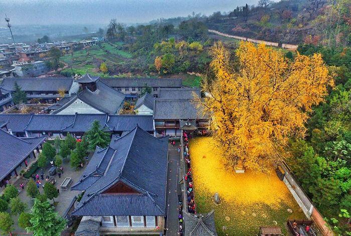 درخت 1400 ساله ژینکو در معبدی بودایی در چین فرشی از برگ های طلایی شگفت انگیز آفریده است