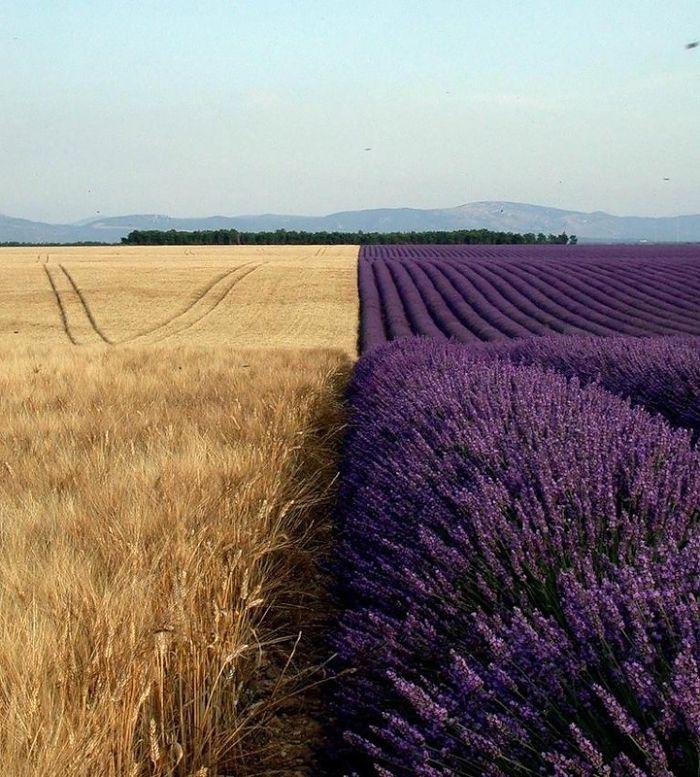 مزارع گندم در کنار مزارع اسطوخودوس