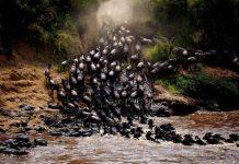 عکس روز : مهاجرت بزرگ کل های یالدار در کنیا