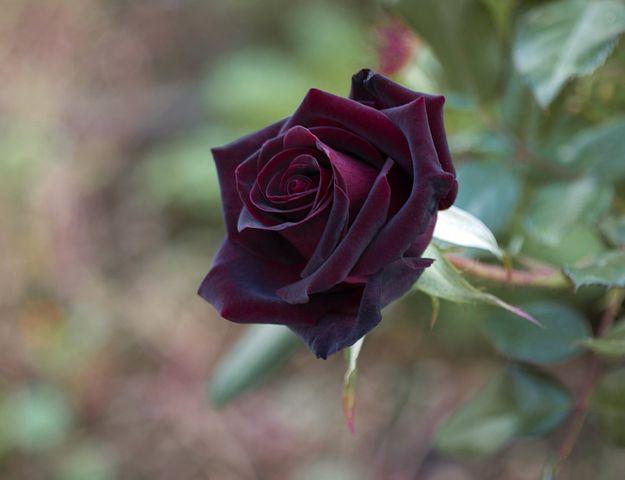 عکس گل رز سیاه و مشکی طبیعی برای پروفایل