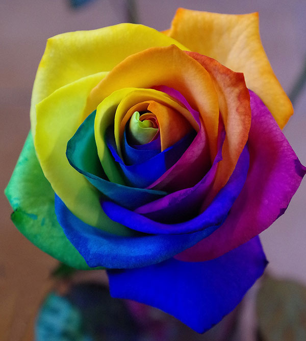 عکس گل رز رنگین کمانی زیبا