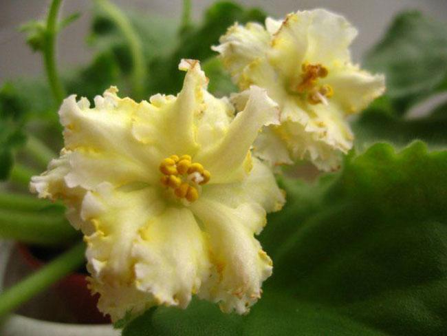 گل بنفشه آفریقایی زرد رنگ