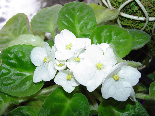 گل بنفشه آفریقایی سفید