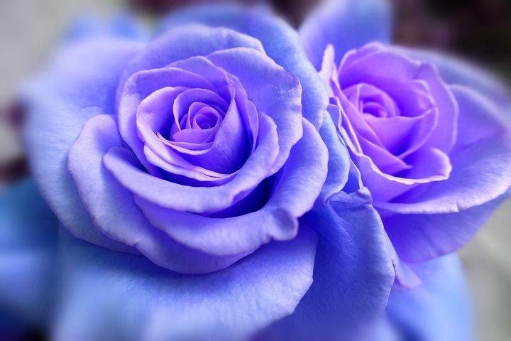 عکس گل رز آبی , تصاویر گل های رز