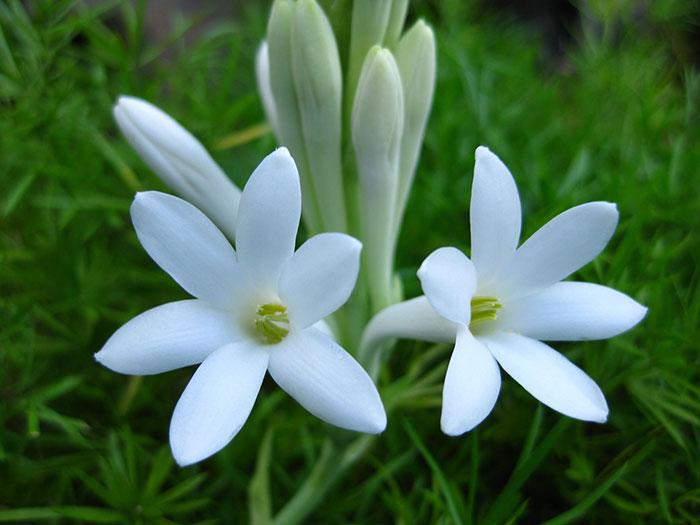 عکس پروفایل گل مریم , عکس گل مریم , گل مریم