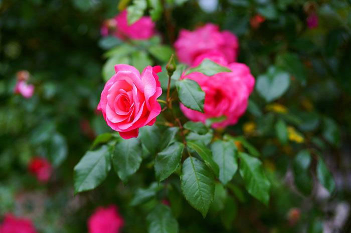 عکس پروفایل گل رز , عکس گل رز صورتی