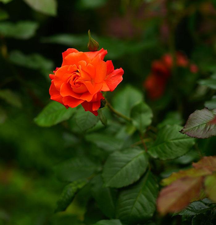 عکس گل رز , گل رز نارنجی