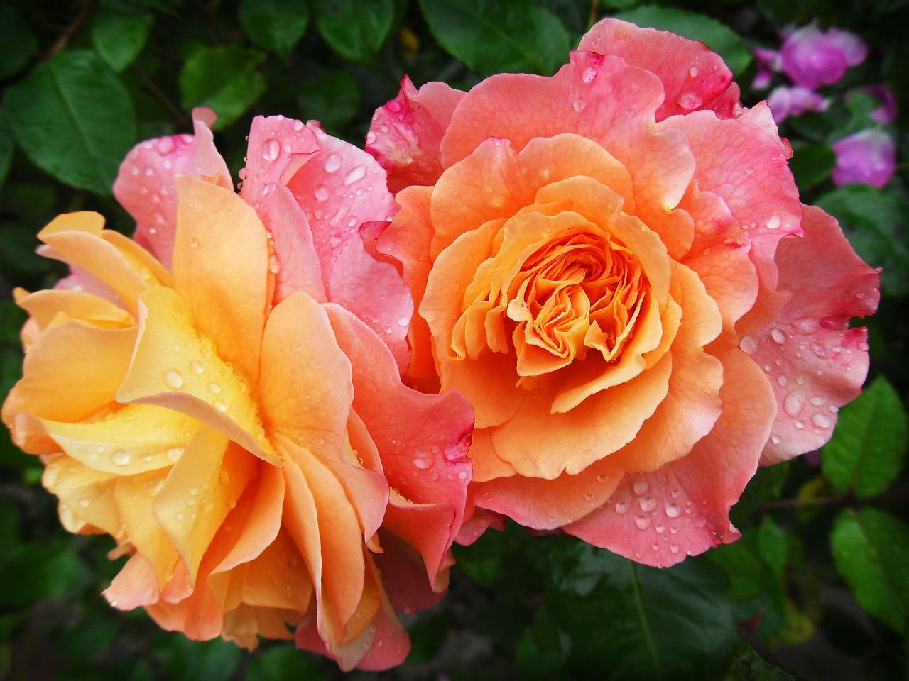 دانلود والپیپر گل رز قرمز , والپیپر گل hd