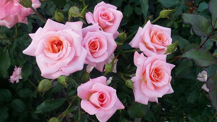 تصاویر گل های رز زیبا و دیدنی برای پروفایل