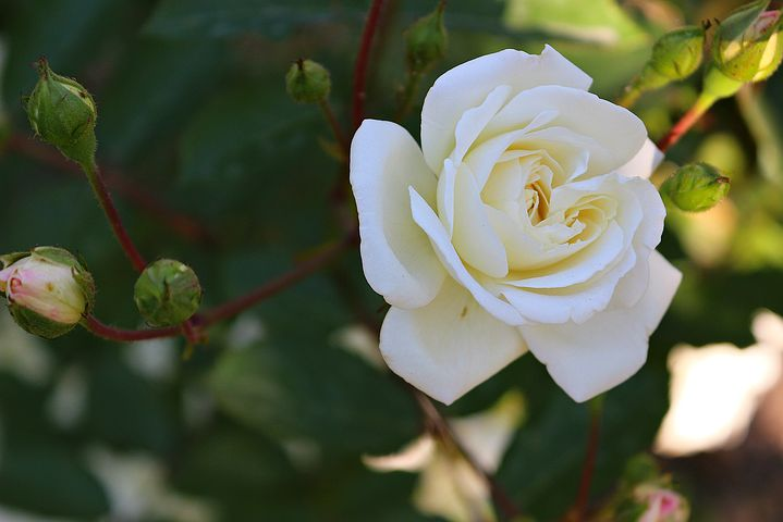 عکس گل رز سفید