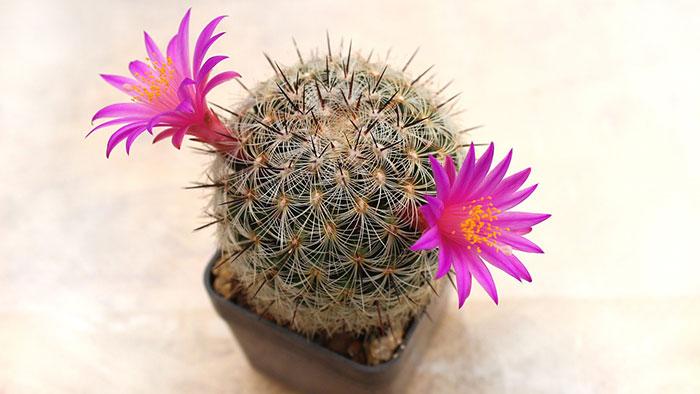 عکس کاکتوس گل دار