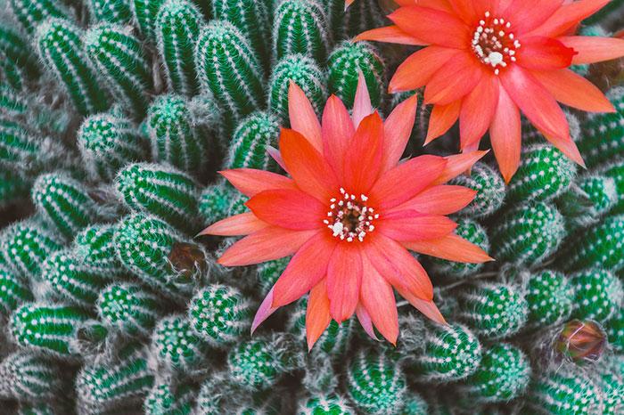 عکس کاکتوس ماری با گل