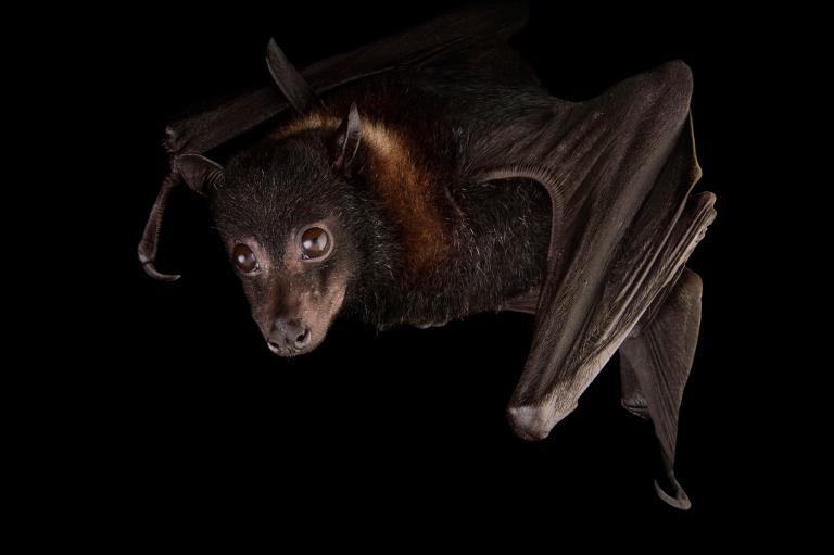عکس خفاش , خفاش شب