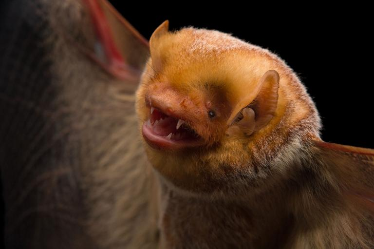 عکس خفاش
