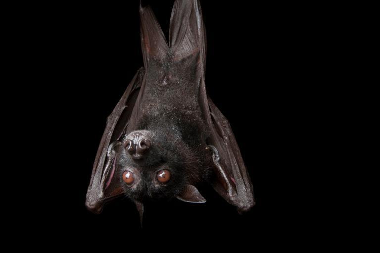 عکس خفاش زیبا