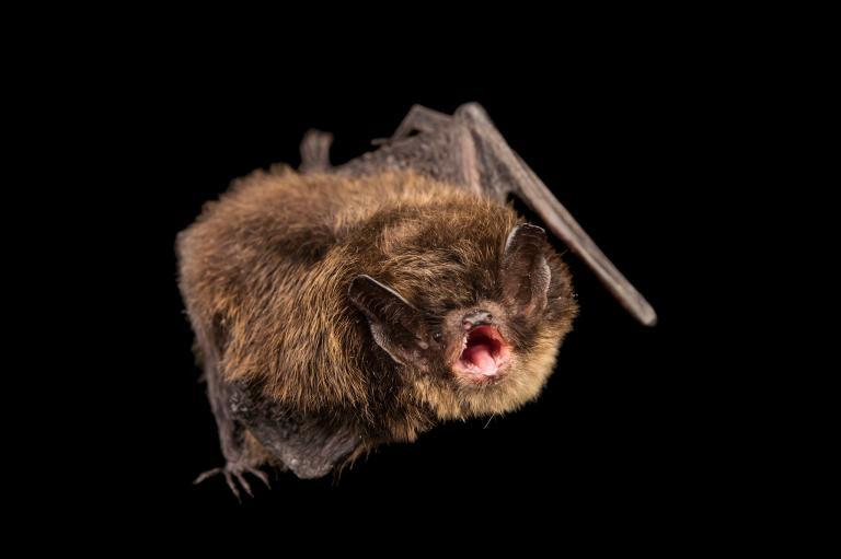 تصاویر خفاش