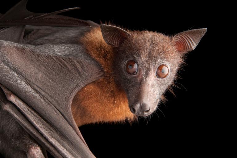 عکس خفاش خون آشام