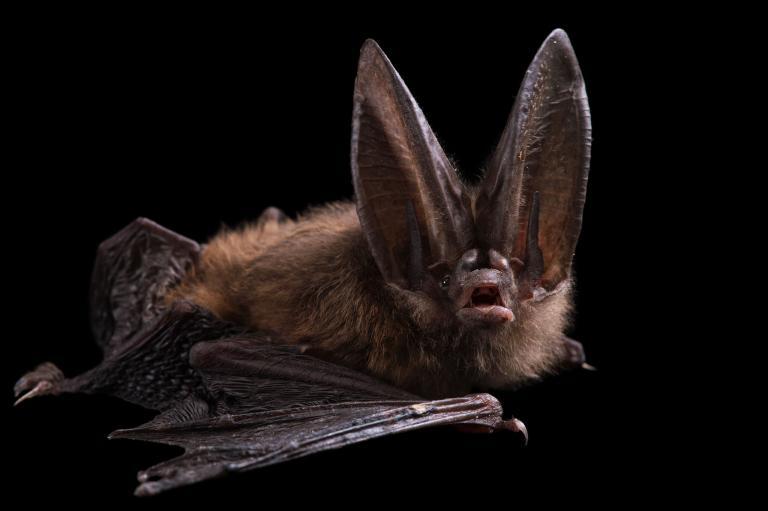 عکس خفاش واقعی
