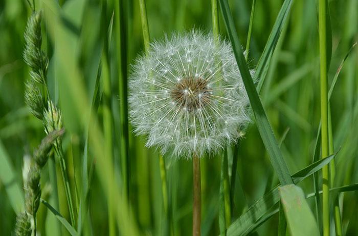 عکس قاصدک زیبا در طبیعت