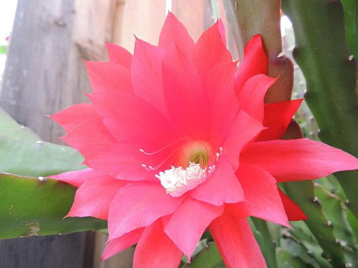 گل قرمز کاکتوس