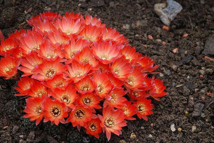 تصاویر گل کاکتوس