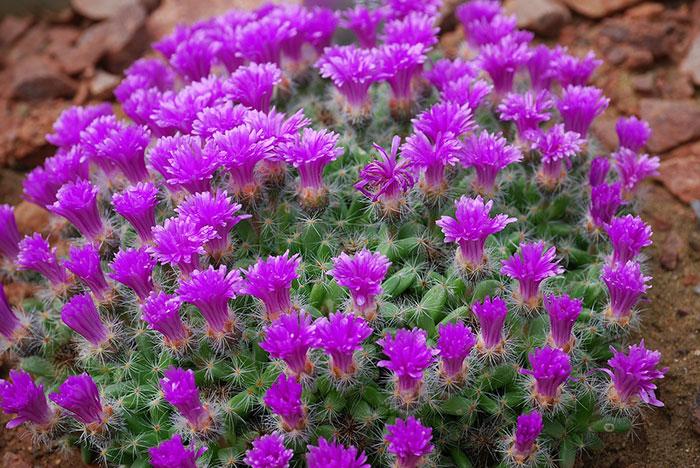 عکس گل کاکتوس های زیبا