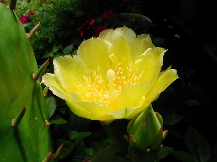 گل زرد کاکتوس