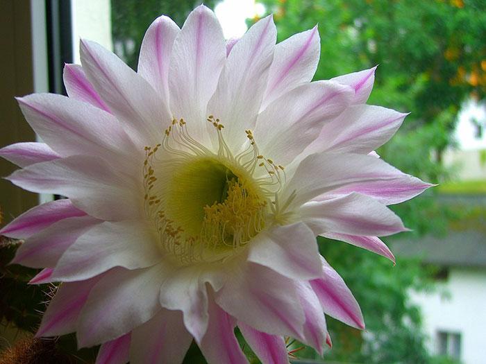 گل کاکتوس طبیعی