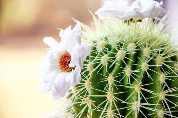 کاکتوس گل دار