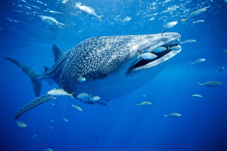 عکس کوسه نهنگ