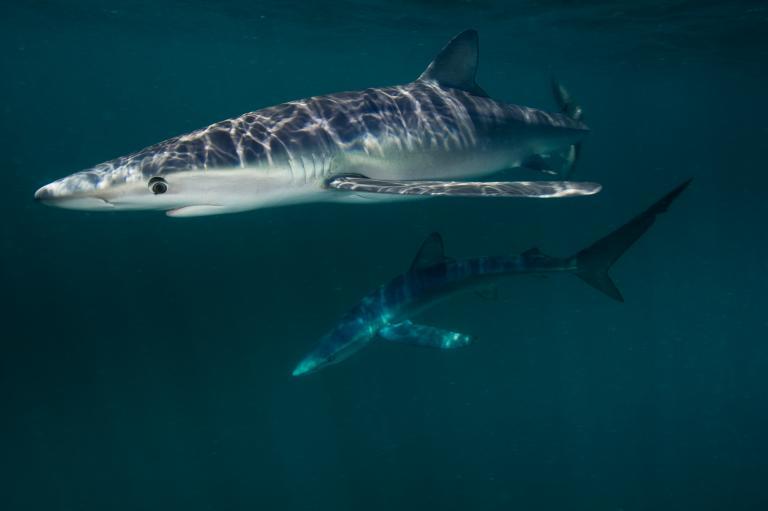 عکس ترسناک کوسه آبی