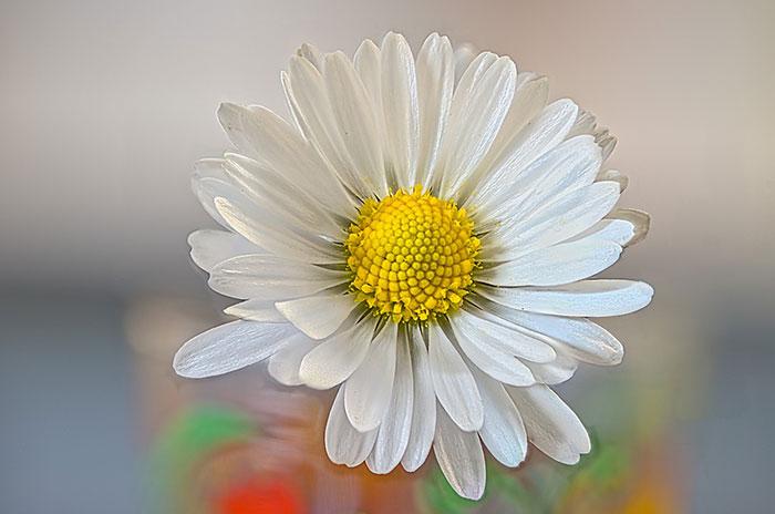 عکس گل مینا چمنی