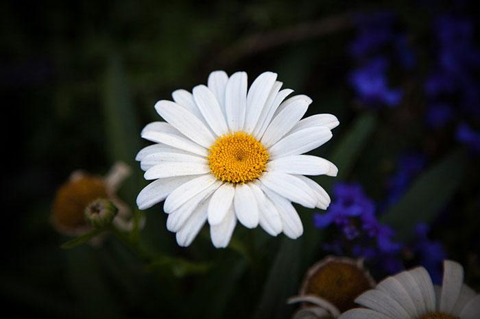 عکس گل مینا