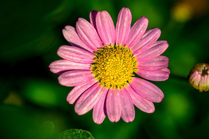 عکس گل مینا صورتی