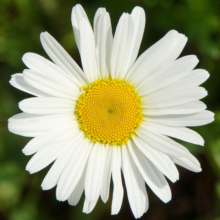 گل مینا به انگلیسی