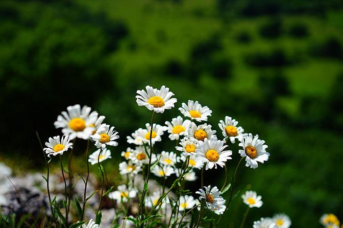تصاویر گل مینا