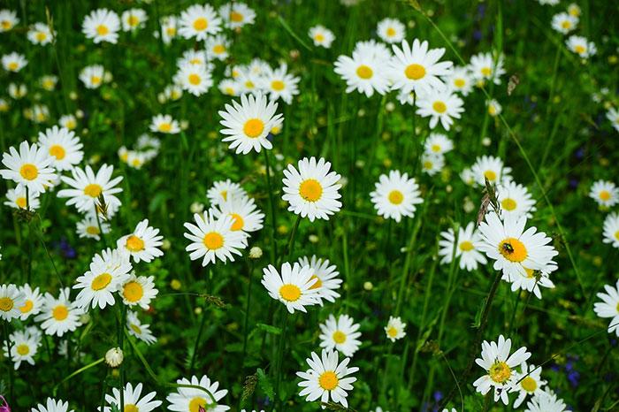 گل های مینا در طبیعت