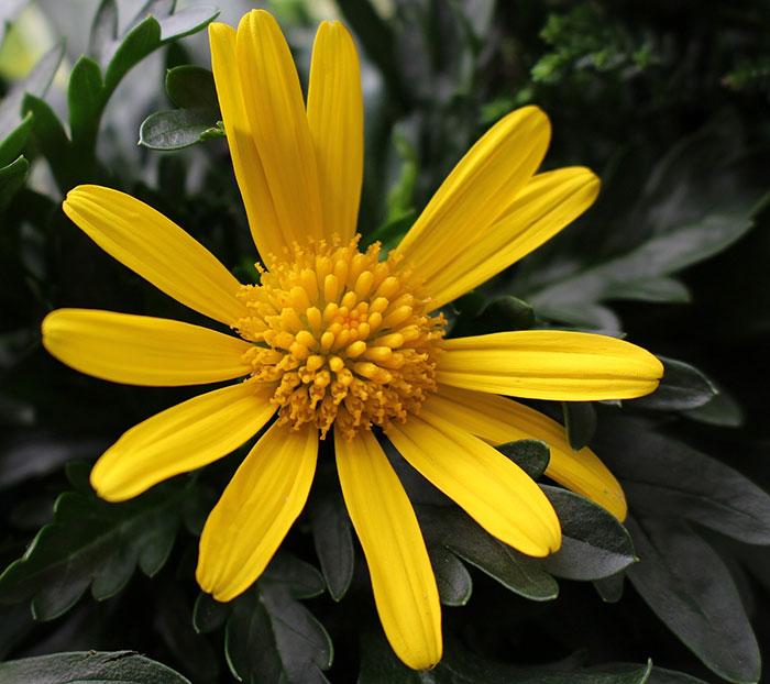 عکس گل مینای زرد