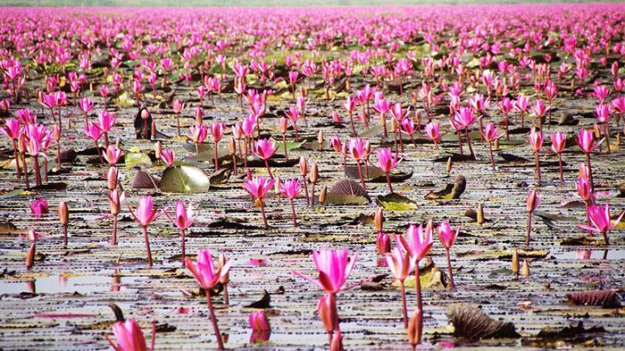 عکس گل نیلوفر آبی در مرداب