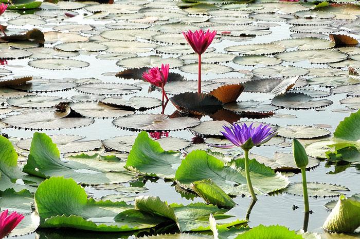 عکس گل لوتوس در مرداب