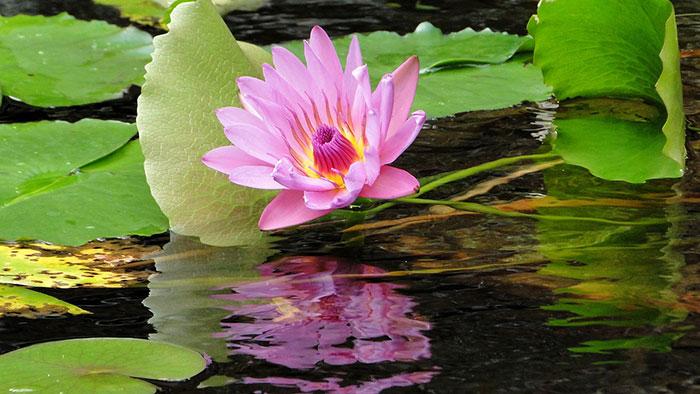 گل نیلوفر متحرک زیبا