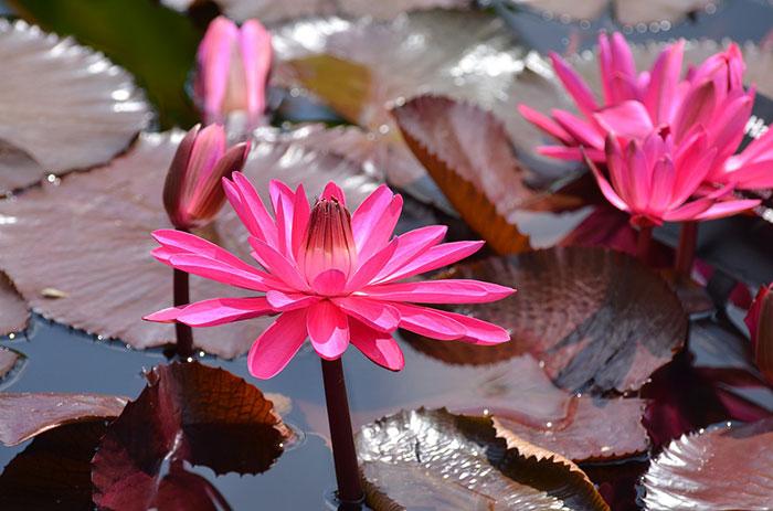 عکس گل لوتوس