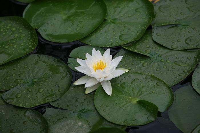 تصویر گل نیلوفر سفید در مرداب