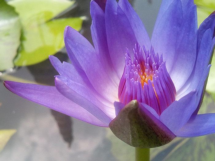 عکس گل نیلوفر ارغوانی