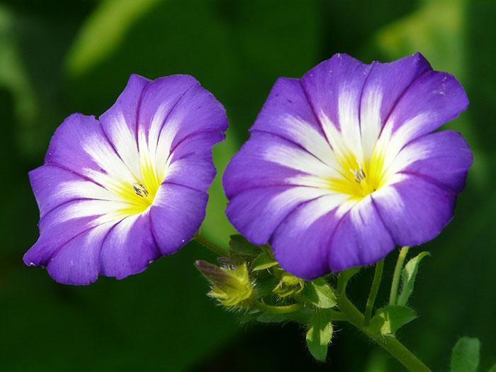 عکس گل نیلوفر پیچ یاسی رنگ