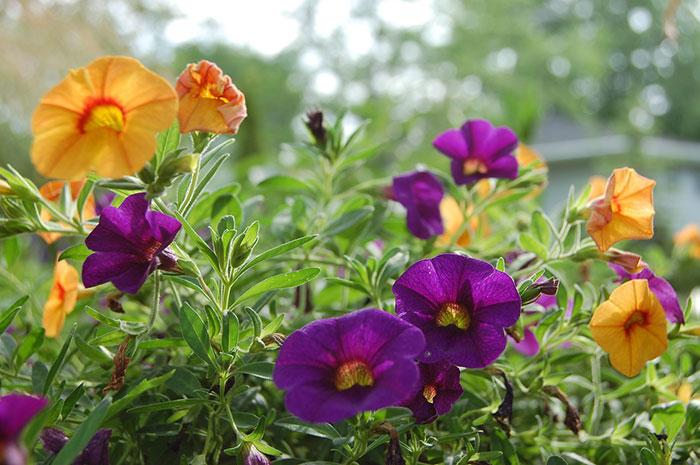 رونده گل نیلوفر پیچ ارغوانی و زرد