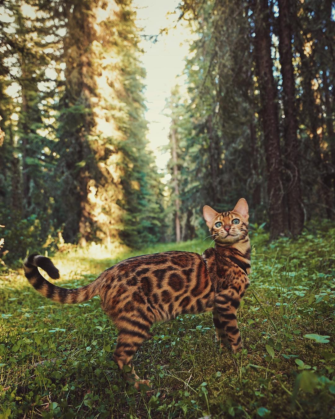 عکس گربه بنگال , گربه برای پس زمینه